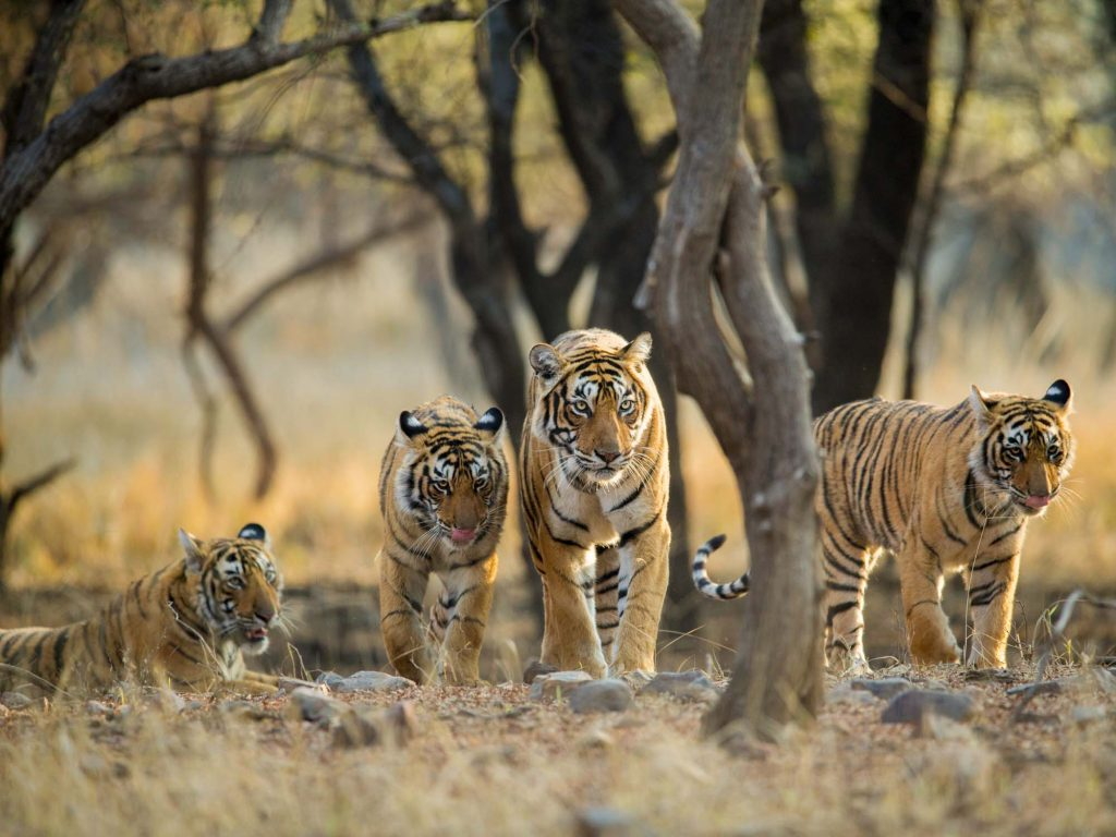 Tiger,Family,A,Stroll,One,Early,Morning,At,Ranthambhore,National