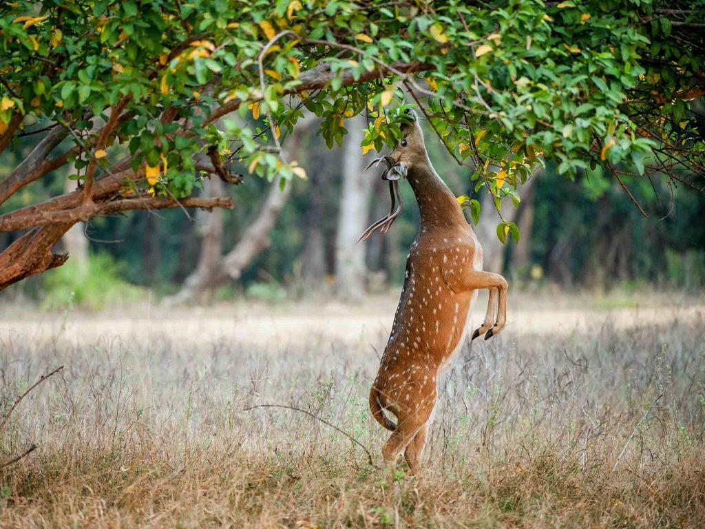 Eating,Wild,Male,Cheetal,Deer,(axis,Axis).,India